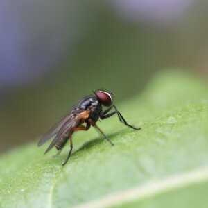 fly on leaf