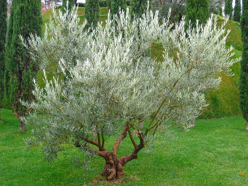 Amazing Ancient Healing Powers Of The Olive Tree Explained Insteading