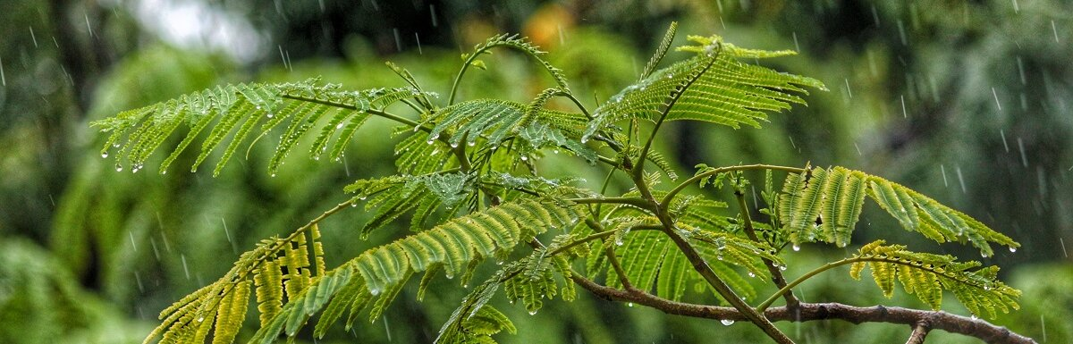 rainwater tree