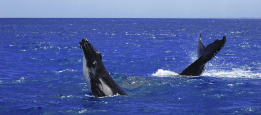 Southern Humpback Whales