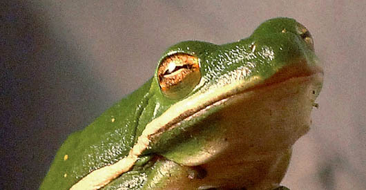 Atrazine found in tap water chemically castrates frogs