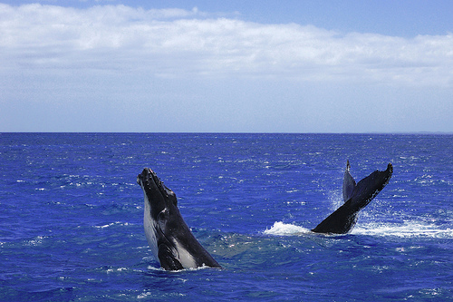 The International Whaling Commission may lift a 25-year ban on whaling this summer.