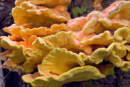 Hunting for Wild Chicken of the Woods Mushrooms