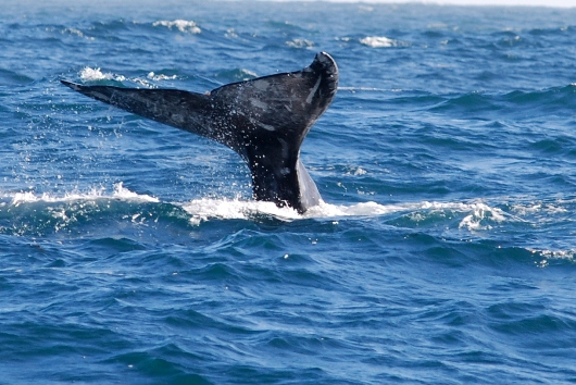 Gray whale in the eastern Pacific Ocean