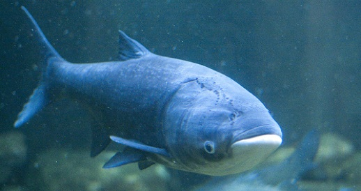A 20 pound Asian carp has crossed the electric border in the Great Lakes.