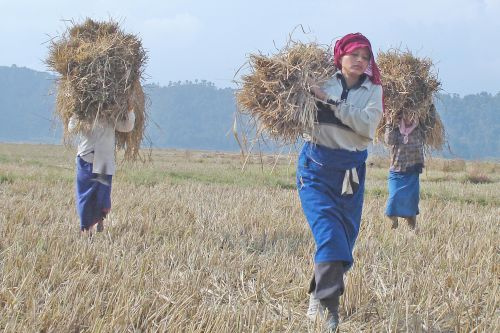 Female farm workers in India with bundles of hay for harvesting.