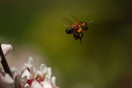 honeybee flying away with pollen from a flower