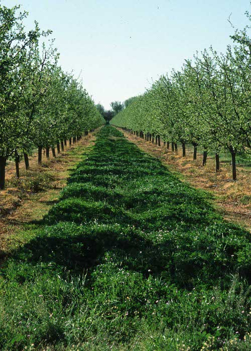 orchard with cover crops