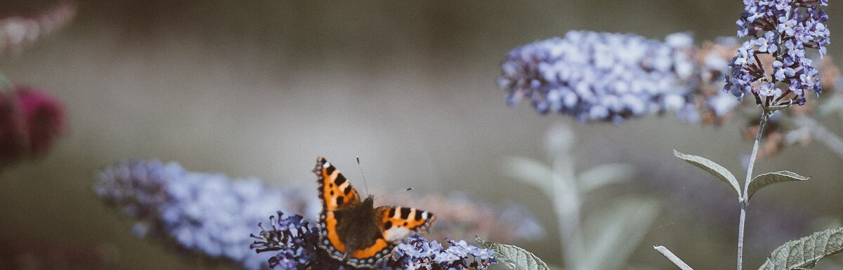 butterfly in rain garden
