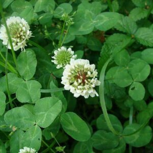 Living Mulch of White Clover