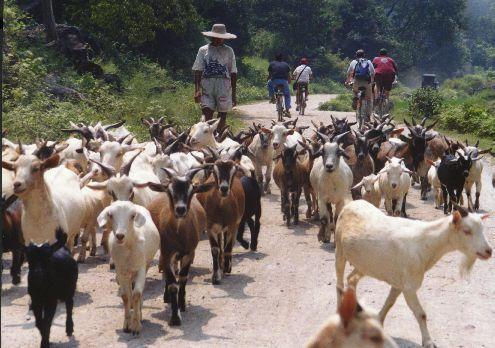 growing goat herds signal global grassland decline insteading