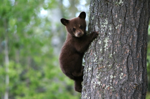 bear cub in an appalachian forest
