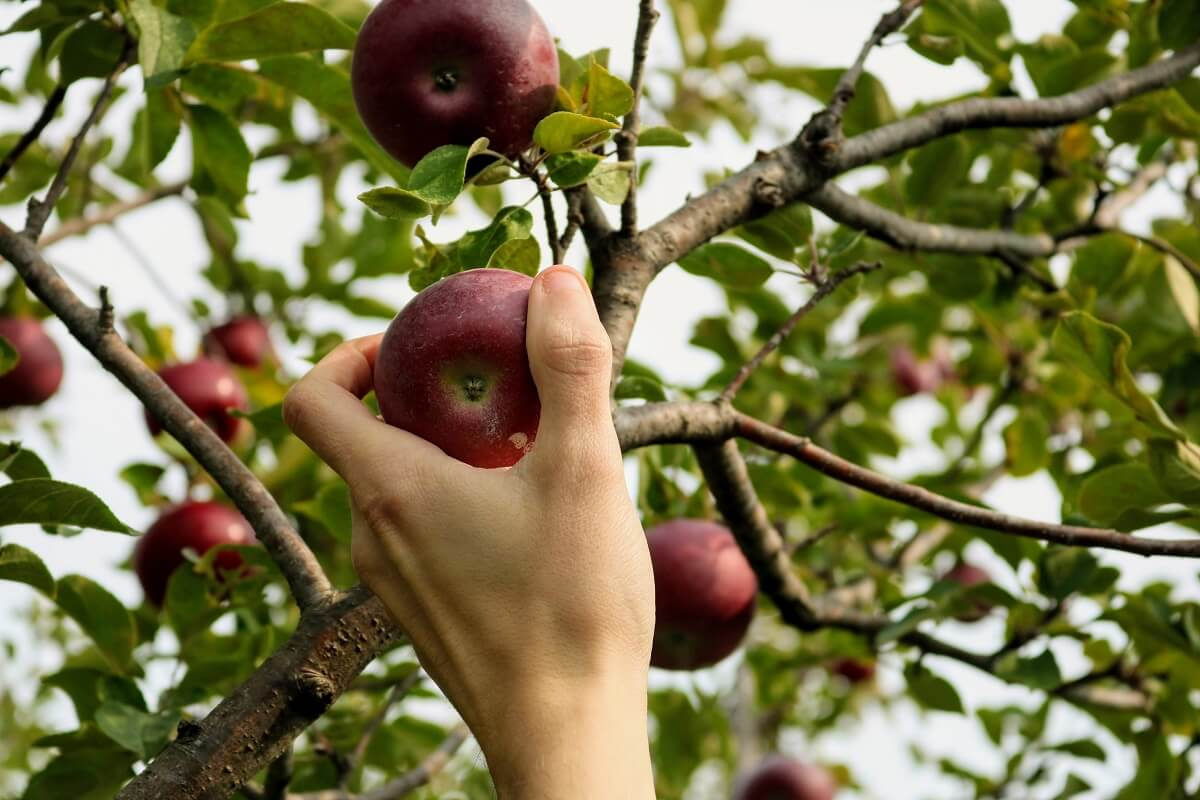person grabbing from apple tree