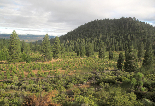 a reforestation project on former logging land in oregon