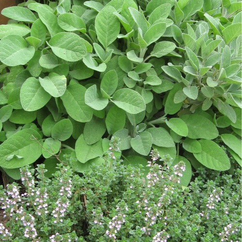 Thyme and Sage in the garden