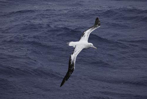 Wandering albatross flying over the Atlantic Ocean