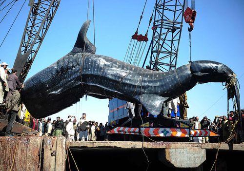 Photo of whale shark hauled ashore in Pakistan