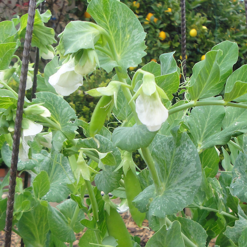 Snow peas on a trellis in the front yard edible landscape