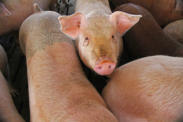 We've reached what some are calling the end of antibiotics -and this is directly related to industrial animal agriculture.