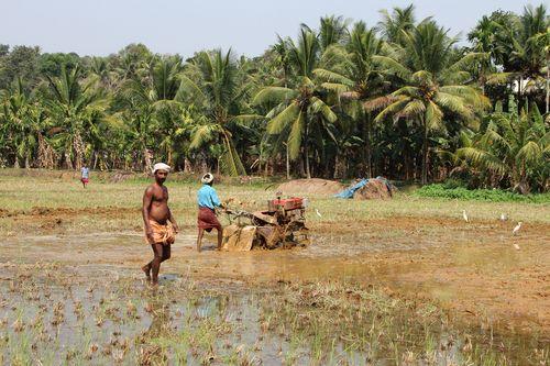 Rice Farming in India