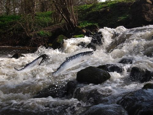 Salmon in a waterfall