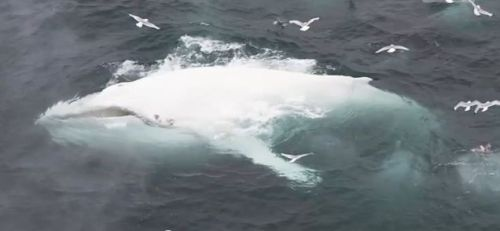 Willow the White Humpback Whale