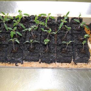 soil block starting seeds