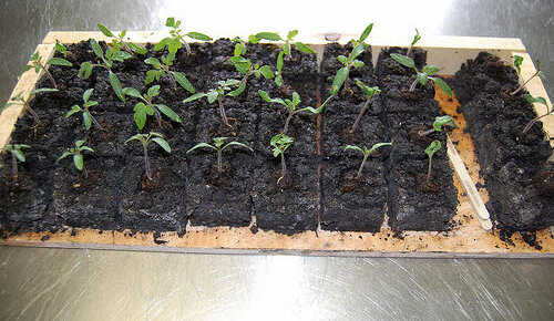 soil block starting seeds