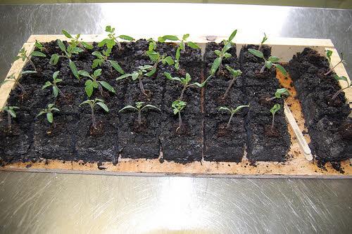 soil blocks for starting seeds