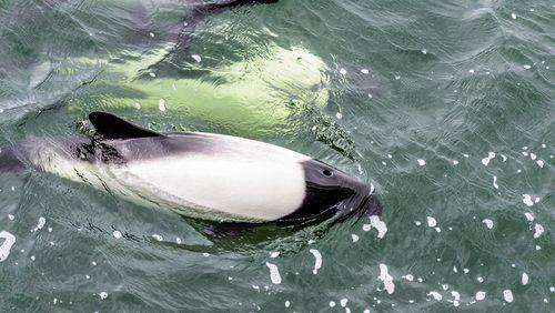 Draft Minke Whale, South Atlantic Ocean