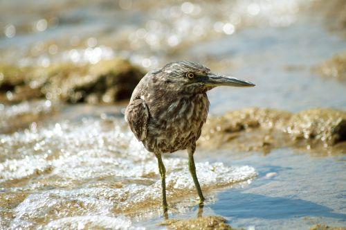 Sandpiper at the Red Sea shore