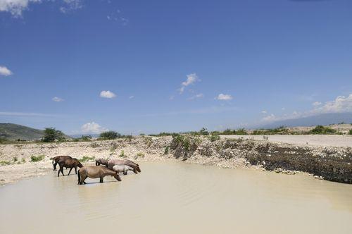 Horses drinking water in Haiti