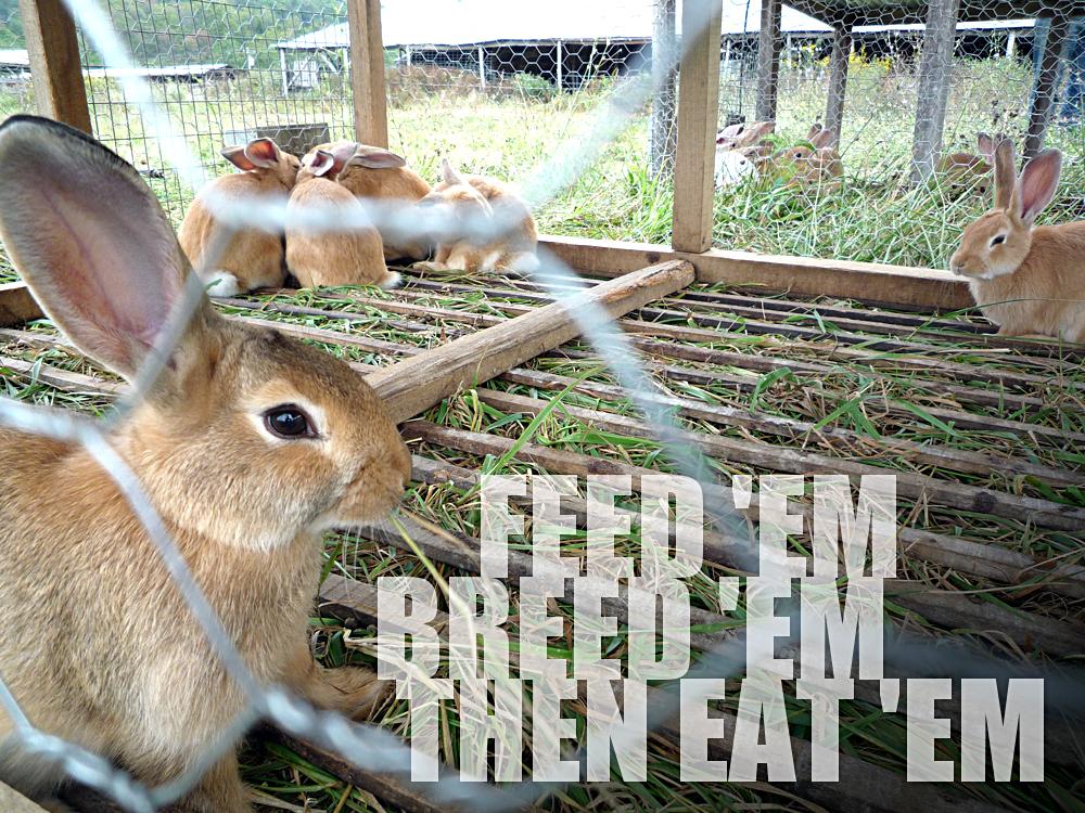 Rabbit Breeding for Food