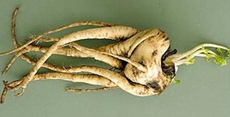 Ugliest Vegetable Parsnip