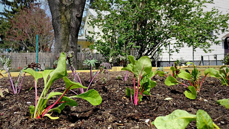 chard-garden