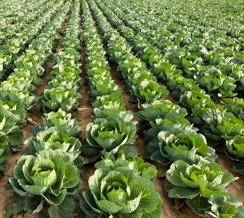 Seasonal Fall Foods: Cabbage