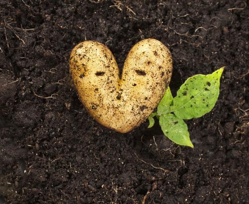 Fall Foods in Season: Potatoes