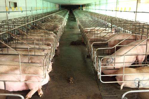 Fed Up Hog Farm Neighbors File Suit in NC