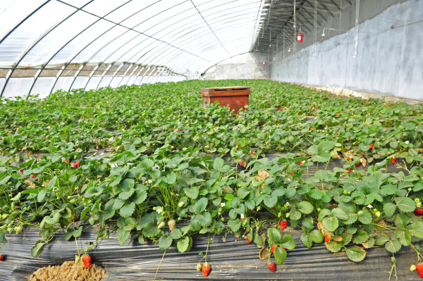 Driscoll's strawberries - from California's largest strawberry grower - has made a very important decision for the organic berry industry.