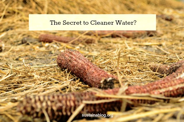 waste corn cobs: the secret to clean water?