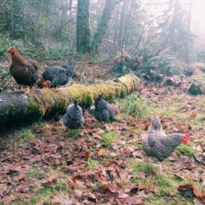 chickens next to chicken-friendly plants