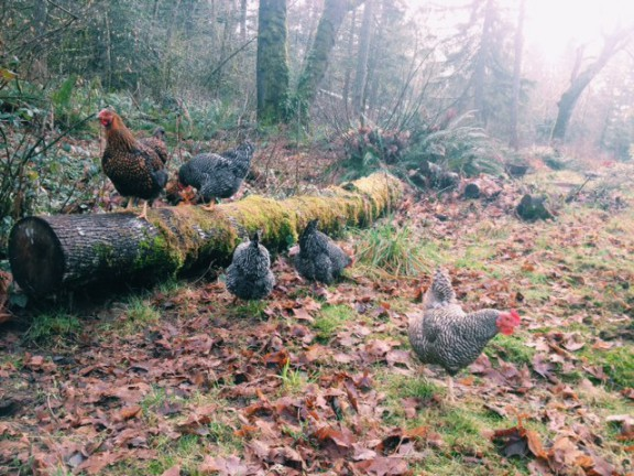 Chickens Free Ranging on the Author's Homestead