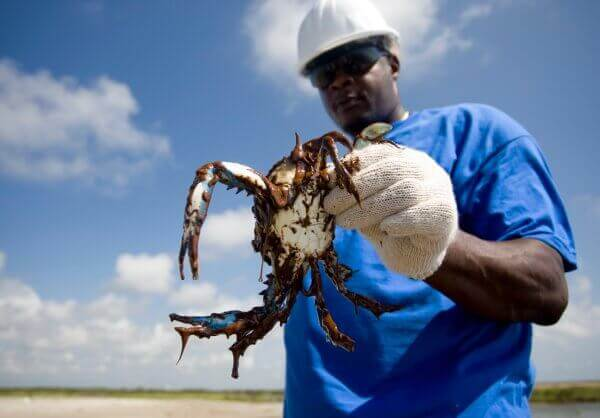 oiled blue crab bp oil spill