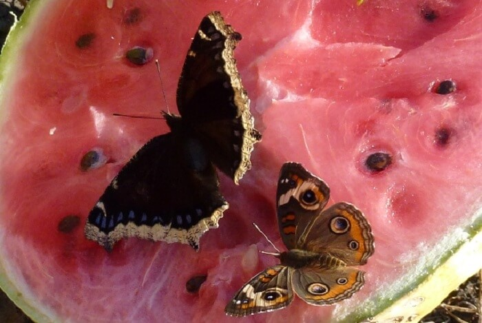 How to Attract Butterflies to Your Garden • Insteading