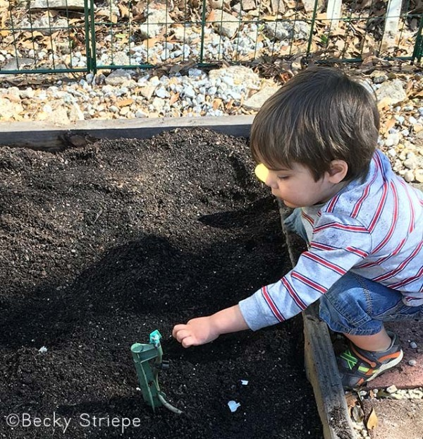 My three-year-old and I planted a ton of green garlic, and you can, too! Here's how to grow, harvest, and eat green garlic!