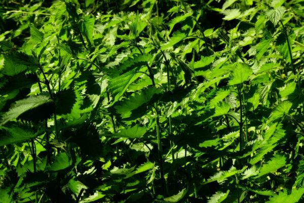 foraging-for-spring-greens-nettles