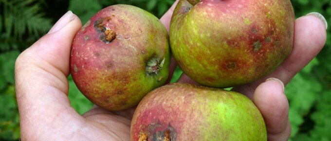 apples spoiled by codling moths