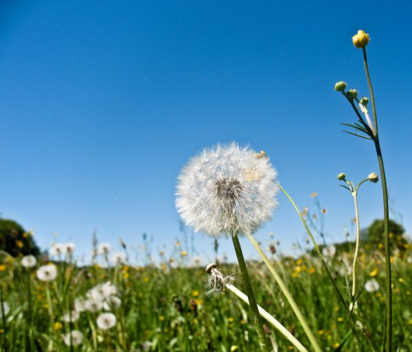 plant guide dandelion