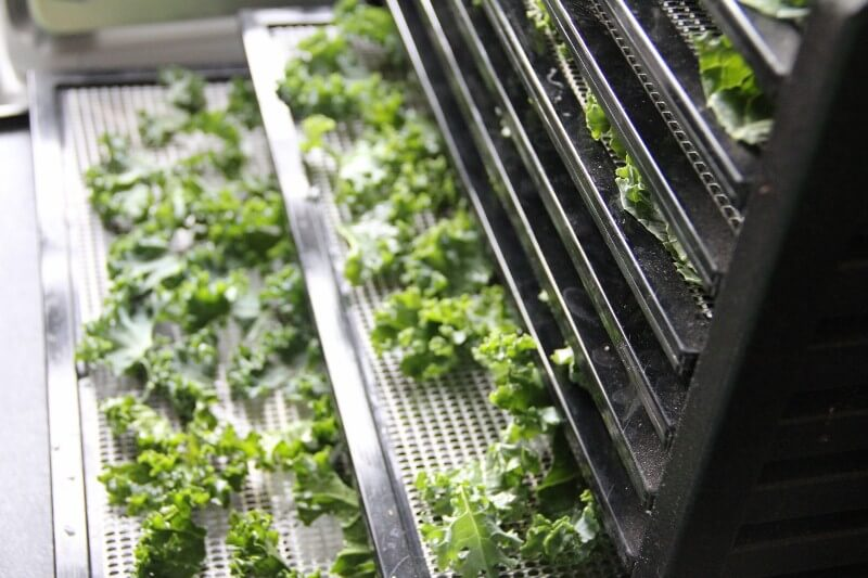 dehydrator recipes: kale dehydrating in dehydrator trays