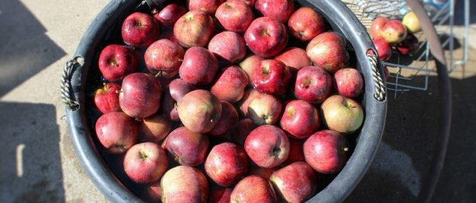 apples in bucket